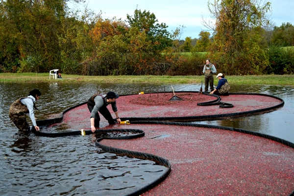 Cranberry Harvesting with Alumni